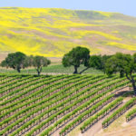 sonoma-yellow-vineyard-exotic-yoga-retreats