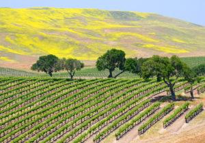sonoma-yellow-vineyard-exotic-yoga-retreats